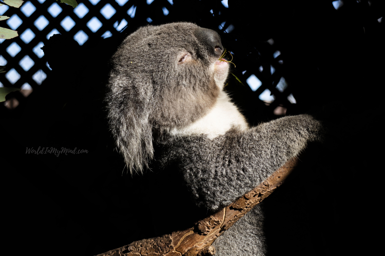 Australian wildlife. Koala.