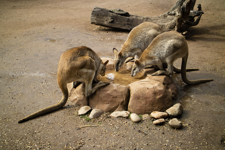 Australian wildlife. Kangaroo.