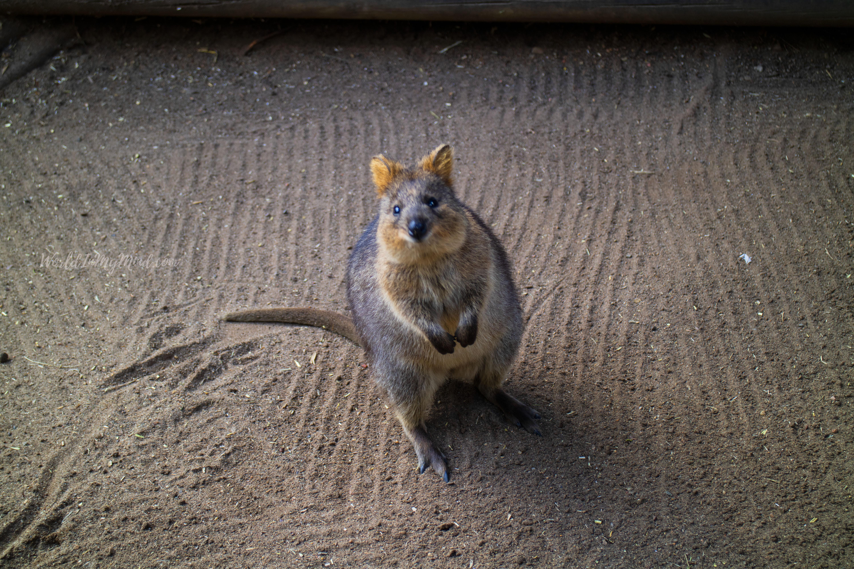 Australian wildlife. Quokka.