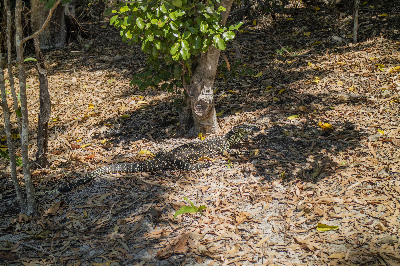 Lizard, Whitehaven Beach